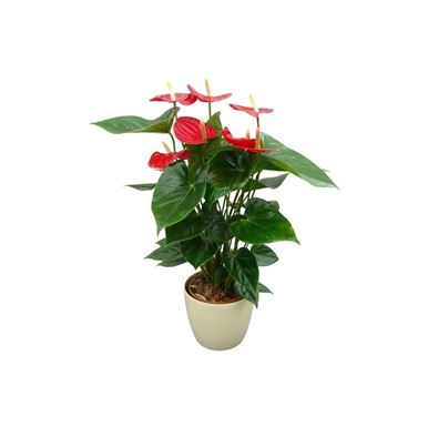 Picture of Anthurium