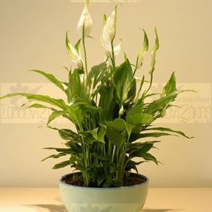 Picture of Spathiphyllum Small Size