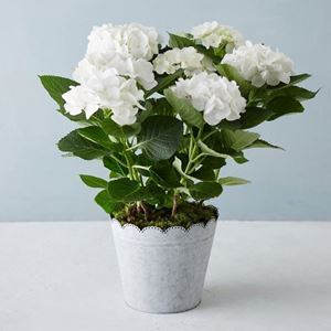 Picture of White hydrangea