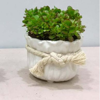 Picture of Succulent Small Size 002