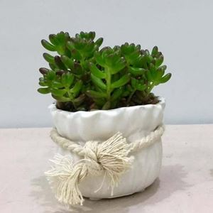 Picture of Succulent Small Size 003