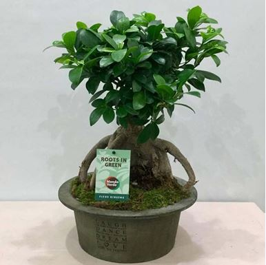 Picture of Bonsai Medium Size