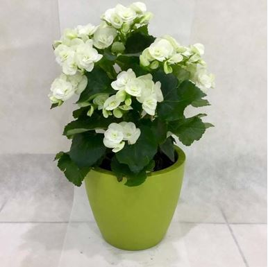 Picture of White Begonia