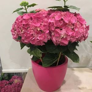 Picture of Pink Hydrangea Big Size