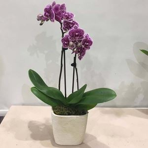 Picture of Orchid Phalaenopsis