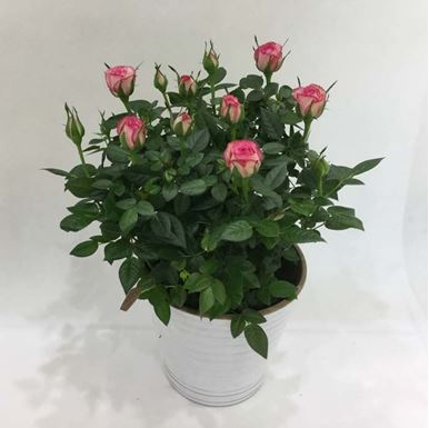Picture of Pink Roses Plant