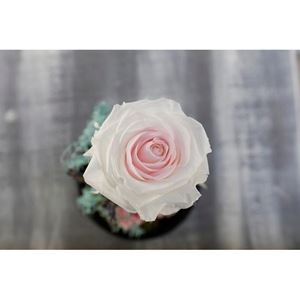 Picture of Forever Rose White - Pink Medium Size